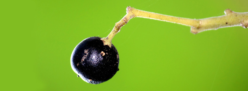 Curry tree fruit
