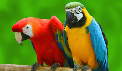 Listen to the birds: Talking Bird Parrot