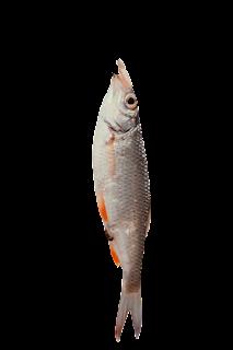 Fish PNG Transparent Photo Download Free