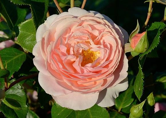 Elizabeth Stuart rose