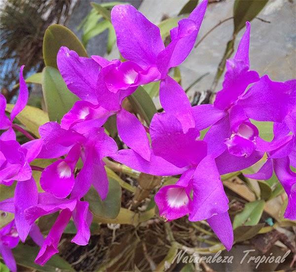 Conjunto de flores de una orquídea epífita