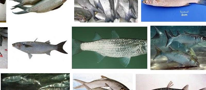 Budidaya Ikan Belanak Air Laut