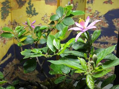 室内で育てているスイレンボクの開花