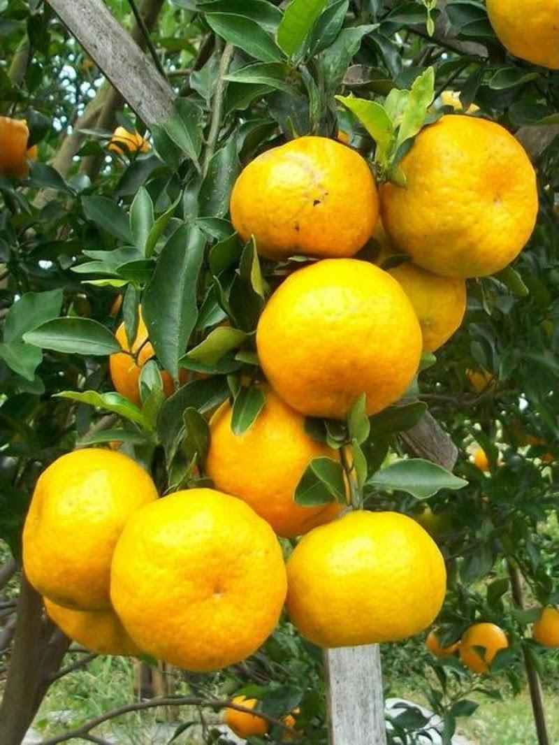 bibit jeruk keprok batu 55 berbuah beli 3 gratis 1 Tebingtinggi