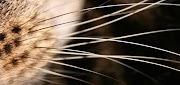Curiosidades sobre o Corpo dos Gatos