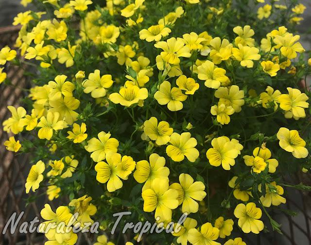 Floración del cultivar 'Poty Amarilla INTA' de una especie del género Mecardonia