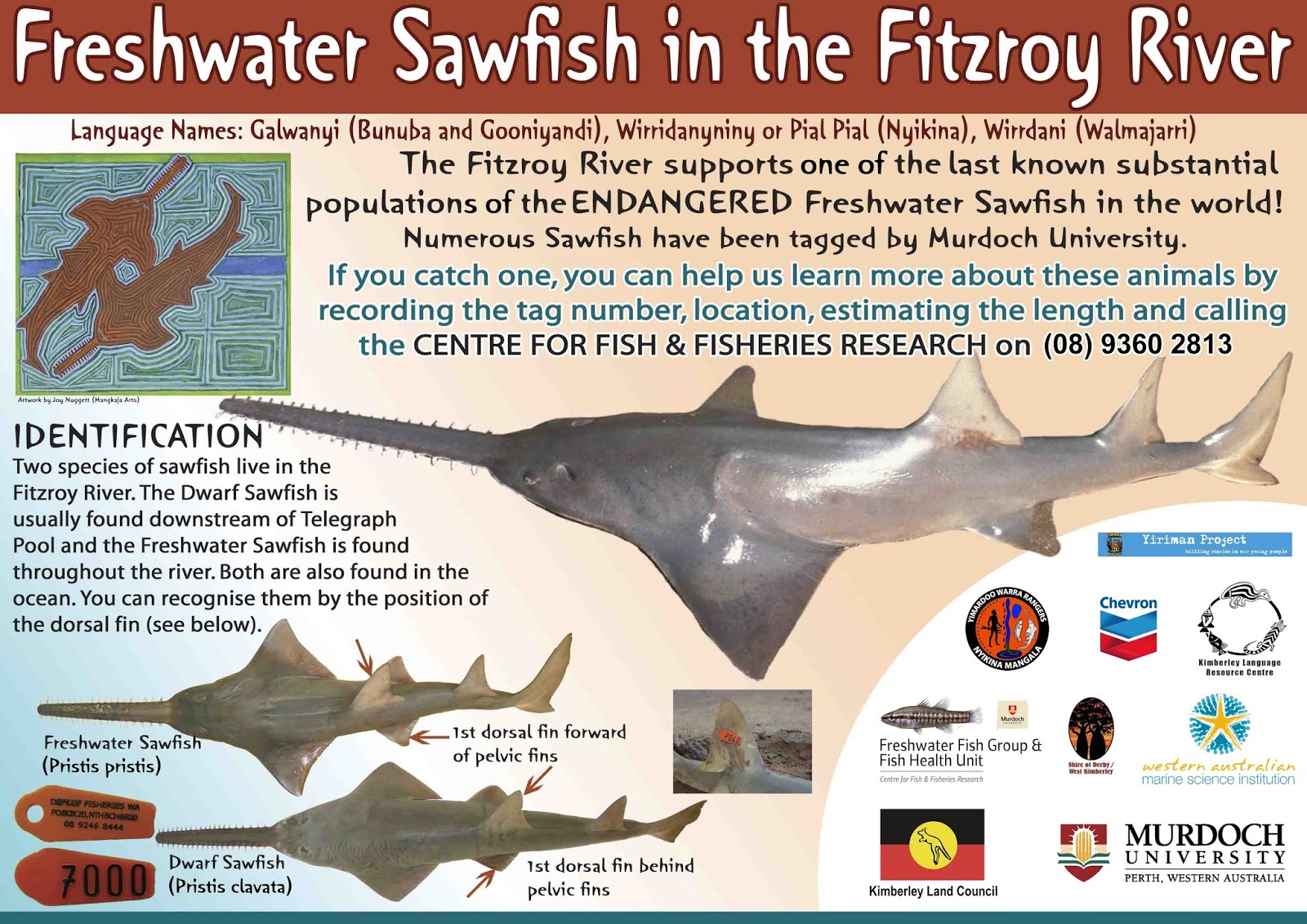 Sawfish Conservation Society Researching Sawfish In The Rivers Of Western Australia An Interview With Dr David Morgan