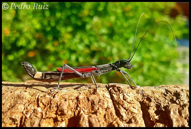 "Hembra adulta de Orthomeria kangi ""Benguet"", 5 cm de longitud"