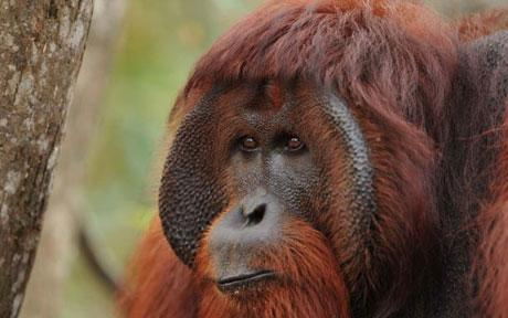 Orangutan Diaries