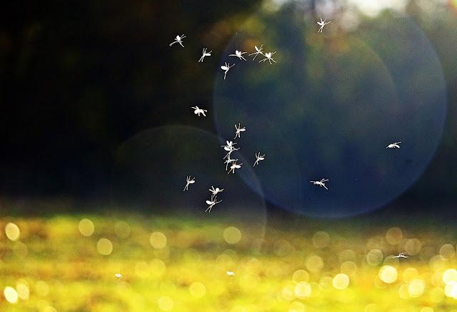 Γιατί Δεκέμβρη μήνα έχουμε ακόμα κουνούπια και σκνίπα;