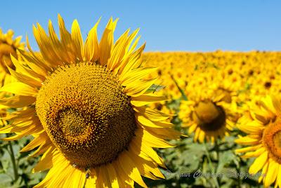 Floarea-Soarelui Sonnenblume Sunflower Tournesol Girasol