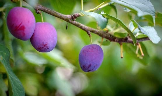 बाजार में आए जामुनी आम, मधुमेह के रोगी भी कर सकते है सेवन!