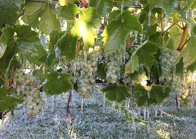 Uvas congeladas produzirão o prezado Icewein