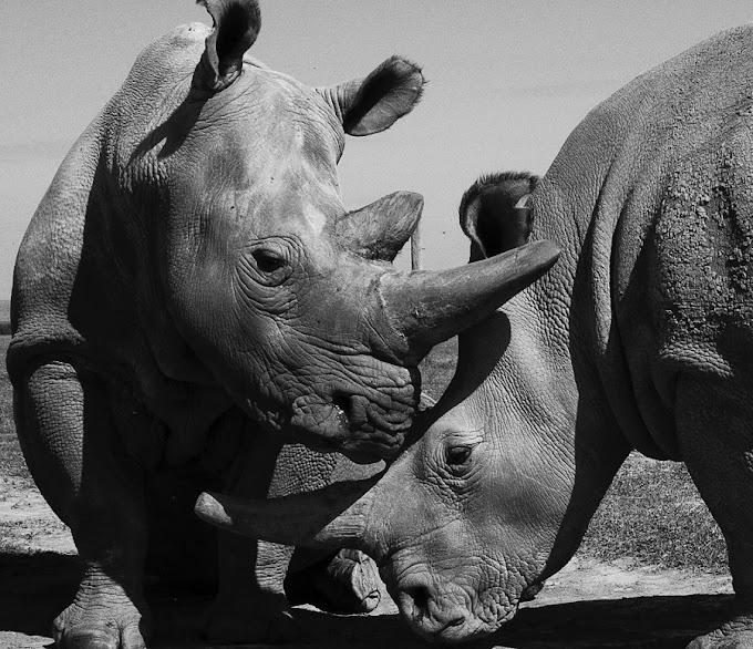 Rinocerontes-brancos do norte lutam contra extinção com 2 últimas fêmeas do mundo