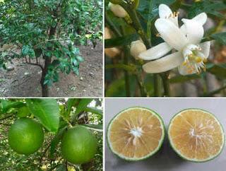 ส้มเกลี้ยงพันธุ์เพชรพูลเพิ่ม รสชาติหวานใกล้เคียงส้มเช้ง
