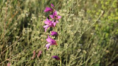 Flora humilde (y silvestre) del Mediterráneo que da color a la primavera
