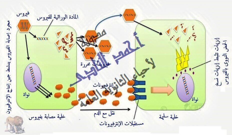 أحياء الثانوية  العامة - تقنيات التكنولوجيا الجزيئية ( الهندسة الوراثية ) - تقنية DNA معاد الإتحاد -  الإنترفيرون