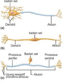 Jenis struktural neuron. (a) Neuron multipolar. (b) Neuron bipolar. (c) Neuron unipolar (pseudounipolar)