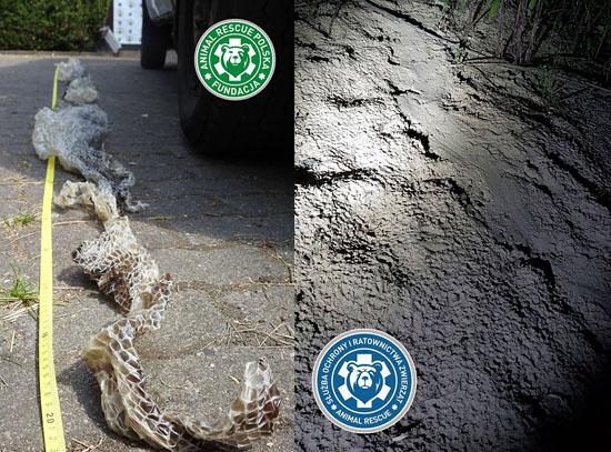 Cobra gigante e fujona mobiliza autoridades e população na Polônia - Img 2