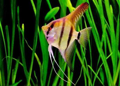 Ikan Manfish