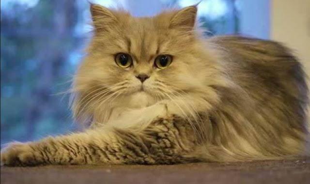 Harga kucing Persia medium anakan