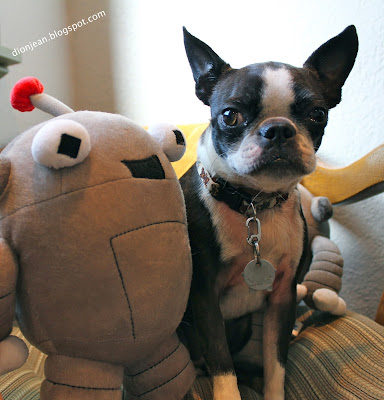 Tiny Boston terrier and her robot toy