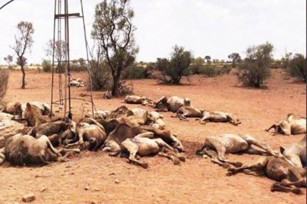 दक्षिणी ऑस्ट्रेलिया में पांच हजार ऊंटों को मारी गोली