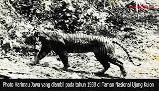 630+ Gambar Hewan Harimau Jawa HD Terbaik