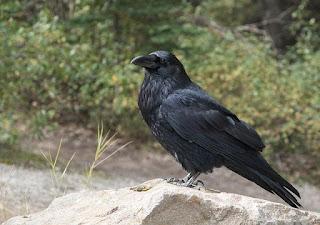 Ravens' moods change
