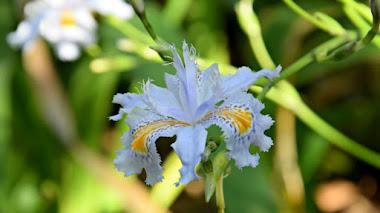 Llámalo primavera. Iris japonica (Lirio de Japón)