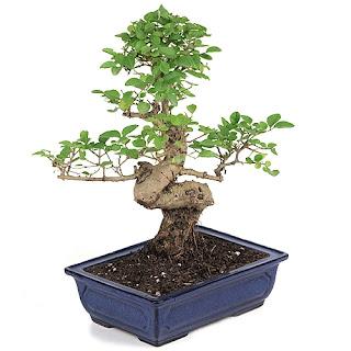 ligustrum bonsai
