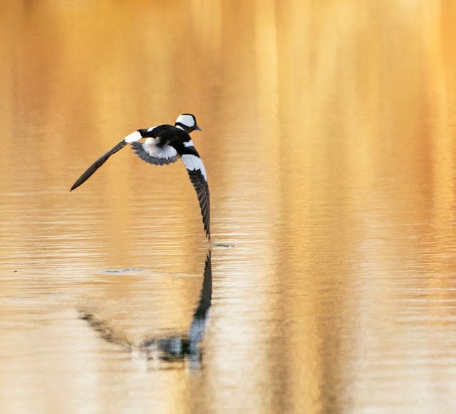 A boldly patterned black and white bird flies just above the water. His wingtips are bent down at a right angle. He is tipped to the side and his right wing tip delicately touches the surface of the water.