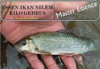 Essen Ikan Nilem Khusus Kilo Gebrus
