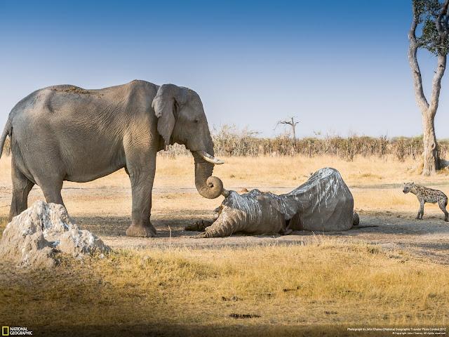 Elefant passer på sin døde vens krop