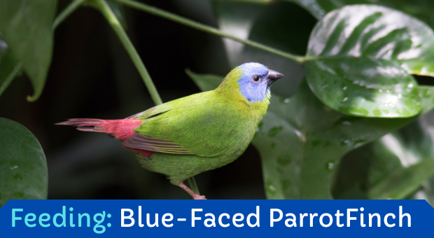 how to feed Blue Faced Finch