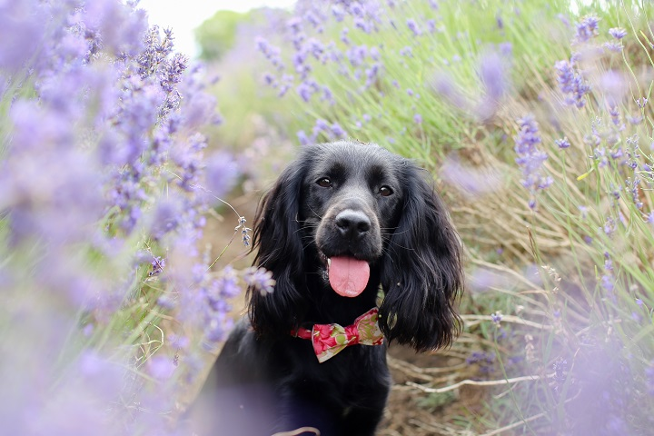 lavender fields with dogs