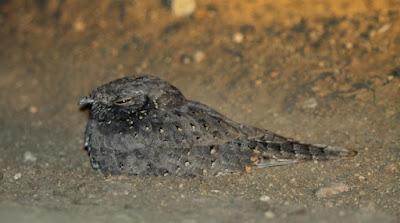 Caprimulgus stellatus
