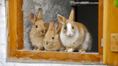Cara membuat Kandang Kelinci yang Sederhana