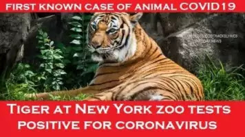 Tiger-at-New-York-zoo-tests-positive-for-coronavirus