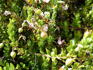 Canneberge à gros fruits - Vaccinium macrocarpon - Airelle à gros fruits - Grande canneberge