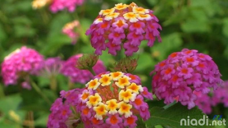 bunga saliara harga bonsai lantana terbaik termahal