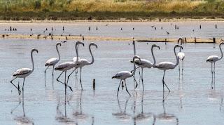 Φωτογραφίζοντας τα Flamingos Αλυκές Λεχαινών