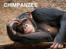 Africa Chimpanzee
