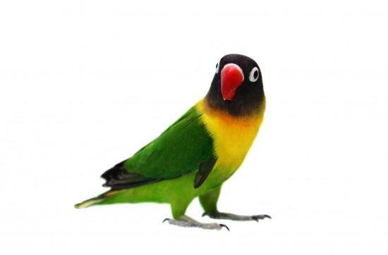 Lovebird bertopeng secara sempurna disebut Lovebird berkerah Kuning  Lovebird bertopeng Berkerah Kuning