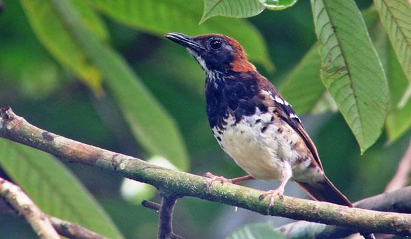 ciri Burung Anis Enggano