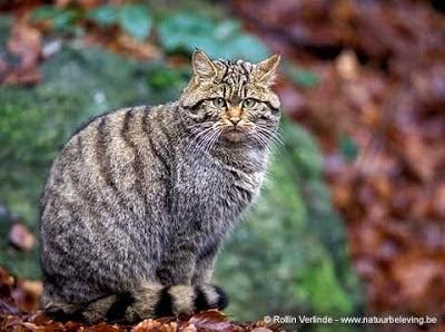 Gato montes Felis silvestris