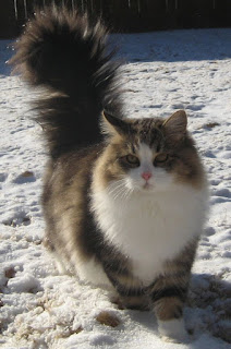jenis kucing siberian