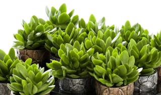 एक चुंबक की तरह, यह पौधा घर में पैसा खींचता है, इसे मनी ट्री कहा जाता है।