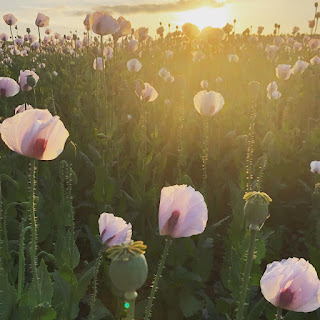 A field at sunset, full of white and red poppies