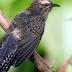 Burung Wiwik, Mitos Burung Pembawa Kematian